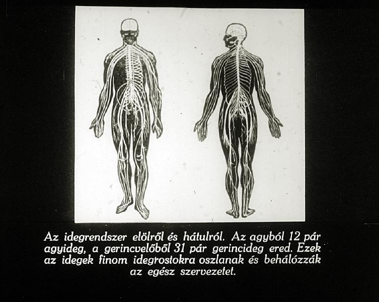 vérlemezke idegrendszer)